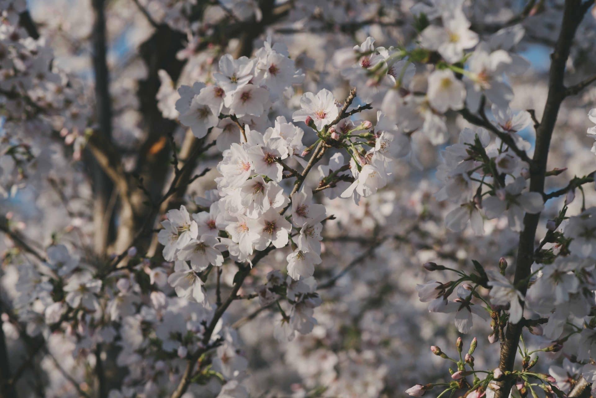 Cherry Blossom - Tidal Basin - Washington D.C.