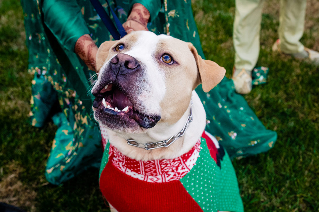 Cute couples portraits with dogs in seasonal sweater at the Lincoln Memorial